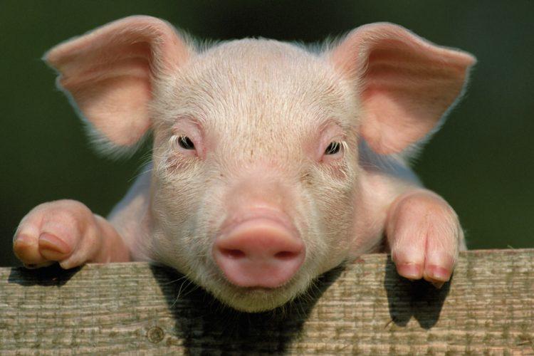 The Dangers of Eating Pork!!