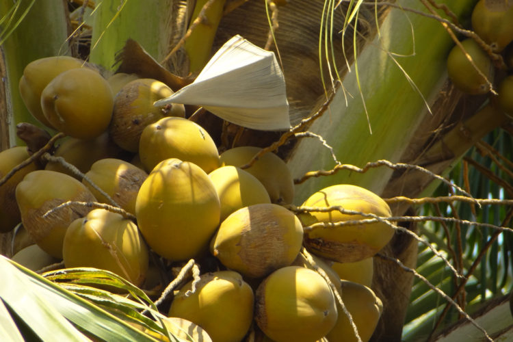 It can never be said enough times: The coconut is a miracle fruit!